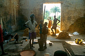 Rice farmers pounding freshly harvested rice, Port Loko district, Sierra Leone, 2004-2005. - Steve O. Taylor (GHF)