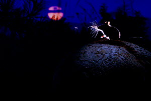 Deer mouse (Peromyscus maniculatus) on giant puffball mushroom, watching mosquito in the moonlight. Blackfoot Valley, Western Montana, USA, July. Winner of the Mammals category, Wildlife Photographer...  -  Alexander Badyaev