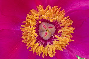Common peony (Paeonia officinalis) close up of stamens and stigma,  Monti Sibillini National Park, Italy, May.  -  Wild Wonders of Europe / Bartocha