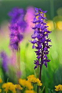Early purple orchid (Orchis mascula) on the Forca Canapine, Monti Sibillini National Park, Italy, May.  -  Wild Wonders of Europe / Bartocha