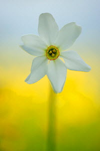 Poet's daffodil (Narcissus poeticus) on the Piano Grande, Monti Sibillini National Park, Italy, May.  -  Wild Wonders of Europe / Bartocha