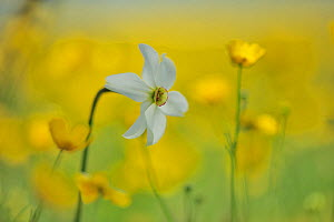 Meadow buttercup (Ranunculus acris) and Poet's daffodil (Narcissus poeticus) on the Piano Grande, Monti Sibillini National Park, Italy, May.  -  Wild Wonders of Europe / Bartocha
