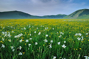 Meadow buttercup (Ranunculus acris) and Poet's Daffodil (Narcissus poeticus) on the Piano Grande, Monti Sibillini National Park, Italy, May, 2009. - Wild Wonders of Europe / Bartocha