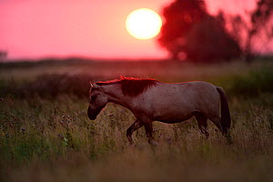 Wild Konik horse walking through meadow at sunset, Odry delta reserve, Stepnica, Poland, July.  -  Wild  Wonders of Europe / Zankl