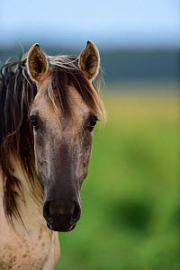 Wild Konik horse portrait, Odry delta reserve, Stepnica, Poland, July.  -  Wild  Wonders of Europe / Zankl
