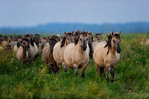 Wild Konik horse herd, Odry delta reserve, Stepnica, Poland, July.  -  Wild  Wonders of Europe / Zankl