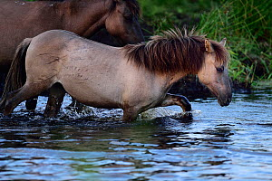 Young wild Konik horse walking through water, Odry delta reserve, Stepnica, Poland, July.  -  Wild  Wonders of Europe / Zankl