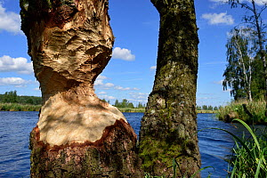 Tree trunk gnawed by Beaver (Castor fiber) Peene river, Anklam, Germany, June.  -  Wild  Wonders of Europe / Zankl