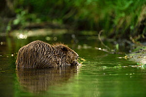 Beaver (Castor fiber) feeding in water, Peene river, Anklam, Germany, June.  -  Wild  Wonders of Europe / Zankl