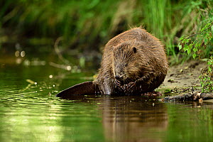 Beaver (Castor fiber) feeding at edge of water, Peene river, Anklam, Germany, June.  -  Wild  Wonders of Europe / Zankl