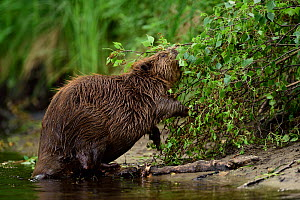 Beaver (Castor fiber) feeding, Peene river, Anklam, Germany, June.  -  Wild  Wonders of Europe / Zankl