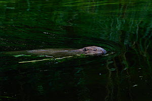 Beaver (Castor fiber) swimming, Peene river, Anklam, Germany, June.  -  Wild  Wonders of Europe / Zankl