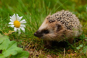 RF- European hedgehog (Erinaceus europaeus) orphan, Jarfalla, Sweden. August. (This image may be licensed either as rights managed or royalty free.) - Staffan Widstrand