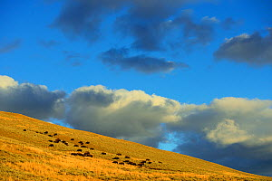 American Bison (Bison bison) herd in habitat, Yellowstone National Park, Wyoming, USA, October.  -  Staffan Widstrand