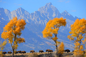American Bison (Bison bison) in habitat, Grand Teton National Park, Wyoming, USA, October. - Staffan Widstrand