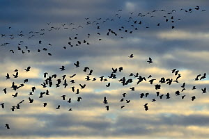 Lapwings (Vanellus vanellus) in flight, Lac du Der, Champagne, France, January. - Fabrice  Cahez