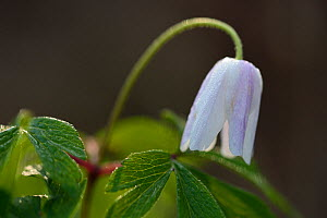 Wood anemone (Anemone nemorosa) Vosges, France, March.  -  Fabrice  Cahez