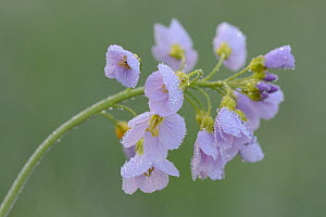 Cuckoo flower / Lady's smock (Cardamine pratensis), Vosges, France, April. - Fabrice  Cahez