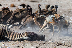 Black-backed jackals (Canis mesomelas) squabbling amongst White-backed vultures (Gyps africanus) at the carcass of a female of Burchell's Zebra (Equus burchelli) that died due to complications whilst...  -  Christophe Courteau