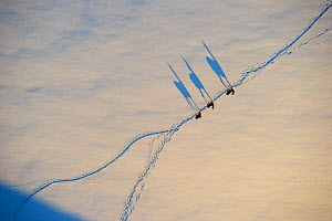 Aerial view of three Roe deer (Capreolus capreolus) walking in line along trail in snow, with long shadows  before sunset, Estonia, May. Winner of the Mammals category and the Animal stories portfolio...  -  Sven  Zacek