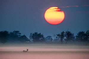 Roe deer (Capreolus capreolus) in fog at sunset, Estonia, September. Nominated in the Melvita Nature Images Awards competition 2014. - Sven  Zacek