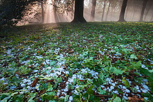 Rays of sunlight through mixed Beech (Fagus sp) / Oak (Quercus sp) forest after heavy downpour of hail, Peerdsbos, Brasschaat, Belgium, June 2014.  -  Bernard Castelein