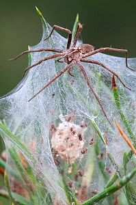 Nursery-web spider (Pisaura mirabilis) female guarding nest with young spiders inside, Groot Schietveld, Wuustwezel  Belgium, July. - Bernard Castelein