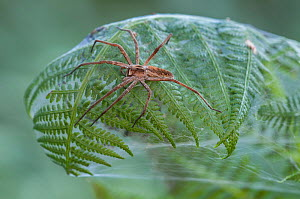 Nursery-web spider (Pisaura mirabilis) female on top of fern leaf nest, Brasschaat, Belgium, July. - Bernard Castelein