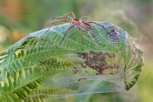 Nursery-web spider (Pisaura mirabilis) female on top of fern leaf nest with young spiders inside, Brasschaat, Belgium, July. - Bernard Castelein