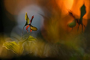 Lady�s slipper orchid (Cypripedium calceolus), Bavaria, Germany, May. 2nd Prize in the Melvita Nature Images Awards competition 2014. - Radomir  Jakubowski