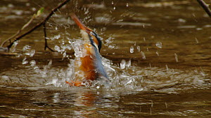 Common kingfisher (Alcedo atthis) diving into a river and bathing before taking off again, Germany, April.  -  Dietmar  Nill