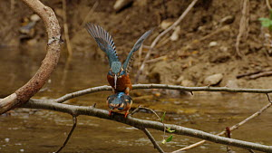 Slow motion clip of a pair of Common kingfishers (Alcedo atthis) mating, Germany, April. - Dietmar  Nill