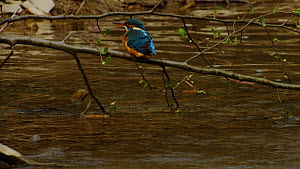 Common kingfisher (Alcedo atthis) bathing, ruffling its feathers and grooming, Germany, April.  -  Dietmar  Nill