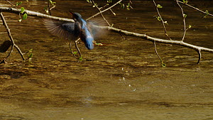 Common kingfisher (Alcedo atthis) diving into a river, briefly bathing before taking off again, Germany, April.  -  Dietmar  Nill