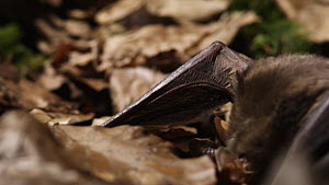 Greater mouse-eared bat (Myotis myotis) landing and catching prey from amongst leaf litter, Germany, captive.  -  Dietmar  Nill