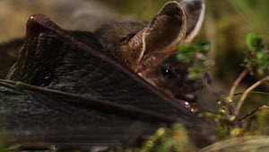 Close-up of a Greater mouse-eared bat (Myotis myotis) eating prey, Germany, captive.  -  Dietmar  Nill