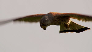 Slow motion clip of a male Kestrel (Falco tinnunculus) hovering, Germany, May.  -  Dietmar  Nill