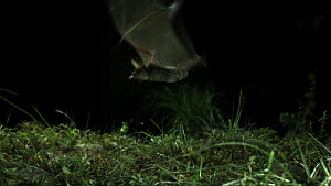 Greater mouse-eared bat (Myotis myotis) catching prey, Germany, captive.  -  Dietmar  Nill