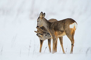 Roe deer (Capreolus capreolus) buck and doe interacting, Vesneri, Estonia, March. Winner of the Animal stories portfolio in the Melvita Nature Images Awards competition 2014.  -  Sven  Zacek