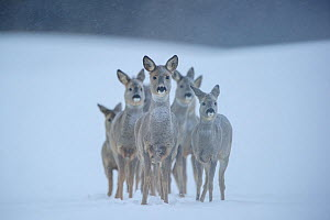 Roe deer (Capreolus capreolus) group in snow, looking at camera. Vorumaa, Estonia, December. Winner of the Animal stories portfolio in the Melvita Nature Images Awards competition 2014. - Sven  Zacek