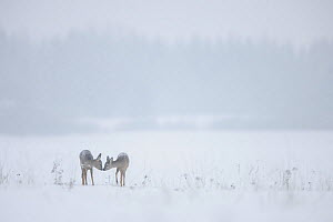 Two Roe deer (Capreolus capreolus) sniffing each other in the snow, Vorumaa, Estonia, January. Winner of the Animal stories portfolio in the Melvita Nature Images Awards competition 2014.  -  Sven  Zacek