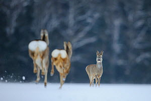 Roe deer (Capreolus capreolus) in the snow, two running away towards a third facing the camera, Vorumaa, Estonia, January. Winner of the Animal stories portfolio in the Melvita Nature Images Awards co...  -  Sven  Zacek