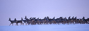 Roe deer (Capreolus capreolus) herd moving through snow, Estonia, March. Winner of the Animal stories portfolio in the Melvita Nature Images Awards competition 2014. - Sven  Zacek