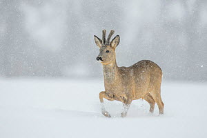 Roe deer (Capreolus capreolus) buck in snowy field, Vesneri, southern Estonia, March. Winner of the Animal stories portfolio in the Melvita Nature Images Awards competition 2014. - Sven  Zacek
