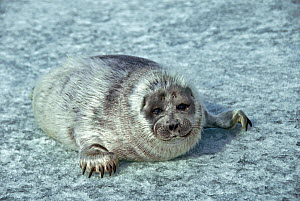 Baby Baikal seal (Pusa sibirica) on ice, endemic species. Lake Baikal, Russia, April. - Olga Kamenskaya