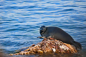 Baikal seal (Pusa sibirica) hauled out on rock, endemic species. Lake Baikal. Russia, June. - Olga Kamenskaya
