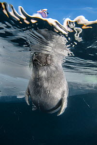 Young Baikal seal (Pusa sibirica) at breathing hole, endemic species. Lake Baikal, Russia, April. - Olga Kamenskaya