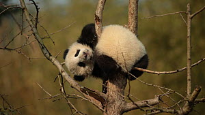 Giant panda (Ailuropoda melanoleuca) cub aged five months stuck after climbing a tree in a breeding centre, Chengdu, China. Captive.  -  Andy Rouse