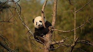 Giant panda (Ailuropoda melanoleuca) cub aged five months falling asleep in a tree in a breeding centre, Chengdu, China. Captive.  -  Andy Rouse