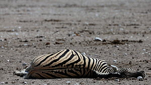 Dead pregnant BurchellÕs zebra (Equus quagga burchellii), died due to complications whilst giving birth, Etosha National Park, Namibia. Part of a sequence.  -  Christophe Courteau